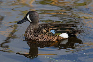 Blue -winged teal (Anas discors) male, Sweetwater Refuge, Bainesville, Florida, USA, December.  -  Barry Mansell