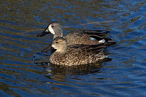 Blue-winged teal(Anas discors) male and female Sweetwatee Refuge, Bainesville, Florida, USA, December.  -  Barry Mansell