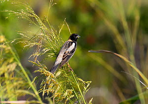 Bobolink (Dolichonyx oryzivorus) male, North Florida, USA. May. - Barry Mansell