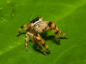 Canopy jumping spider (Phidippus otiosus) male, North Florida, USA, September, - Barry Mansell