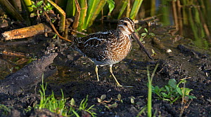 Common snipe (Gallinago gallinago) feeding in North Florida, USA, March.  -  Barry Mansell