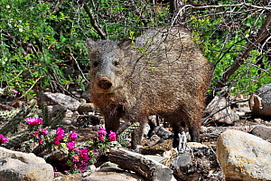 Collared peccary (Pecari tajacu) eating Cholla (Cylindropuntia sp) cactus. South east Arizona, USA. - Daniel  Heuclin