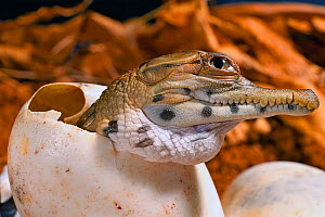 West African slender-snouted crocodile (Mecistops cataphractus) hatching from egg. Native to West Africa. Captive.  -  Daniel  Heuclin