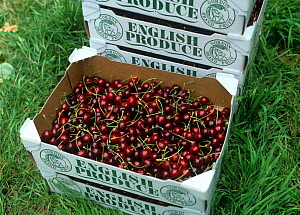 Box of freshly picked dark red cherries, variety Early Rivers, from an English Oxfordshire orchard - Nigel Cattlin