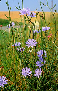 Blue flowers of common chicory (Cichorium intybus) by a roadside in France - Nigel Cattlin