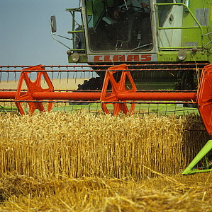 Two Claas combines harvesting even good crop of ripe golden wheat, Oxfordshire, August  -  Nigel Cattlin