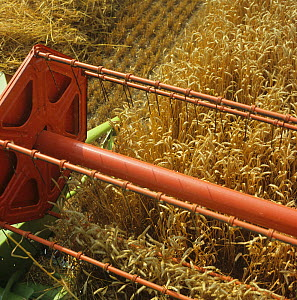Looking down from the cab of a Claas combine at the header harvesting good ripe wheat crop, Oxfordshire  -  Nigel Cattlin