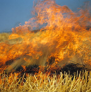 Fierce flames from straw stubble burning after a cereal harvest in 1980s to save time and for disease hygiene in the following crop, now banned  -  Nigel Cattlin