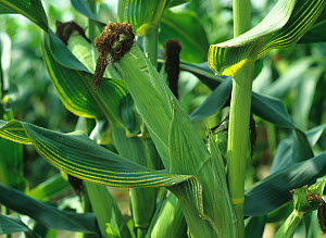 Yellow leaf striping, chlorosis symptoms of magnesium deficiency in a maize, corn crop in mature cob  -  Nigel Cattlin