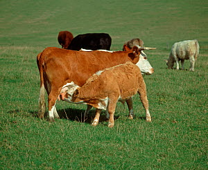 Older calf suckling milk from its mother among cows in a suckler herd grazing on a downland pasture  -  Nigel Cattlin