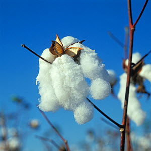 Perfect, fluffy, open cotton boll at picking time against a blue Louisiana sky, USA, October. - Nigel Cattlin