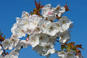White flowers opening against a blue sky on a flowering Cherry Prunus serrulata 'Tai Haku' or great white cherry tree, Berkshire, England, UK, March  -  Nigel Cattlin