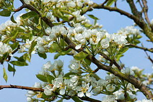 Blossom on a Pear tree (Pyrus) on a fine spring day, the green leaves are just developing, Berkshire, England, UK, April  -  Nigel Cattlin