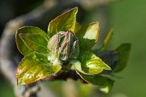 Young green Apple (Malus domestica) flower and leaf cluster in spring, Berkshire, England, UK, April  -  Nigel Cattlin