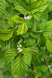 Young raspberry leaves and early flower buds on supported soft fruit plants in a garden, Berkshire, England, UK, April - Nigel Cattlin