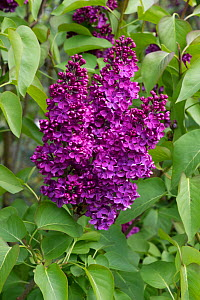 Attractive flowers on a Lilac (Syringa vulgaris) on an ornamental garden tree in full bloom, Berkshire, England, UK. April - Nigel Cattlin