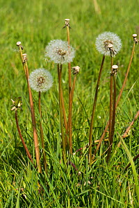 Dandelion (Taraxacum officinale) clock seedheads and stalks of dispersed seeds in grass pasture in spring, Berkshire, England, UK, May - Nigel Cattlin