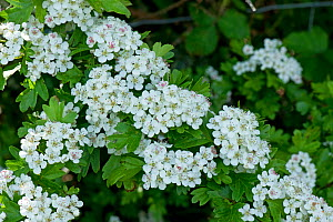 Hawthorn or May blossom (Crataegus monogyna) corymbs of white flowers with fresh green foliage, Berkshire, England, UK, May  -  Nigel Cattlin