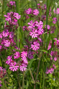 Red campion (Silene dioica) male plant flowers of wild hedgerow dioecious plant in spring, Berkshire, England, UK - Nigel Cattlin