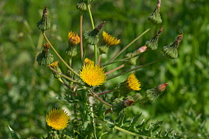 Prickly sow-thistle (Sonchus asper) bold spiny plant coming into flower, Berkshire, England, UK, May - Nigel Cattlin