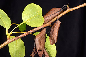 Nectria pear canker (Neonectria ditissima) lesion with living green and dead brown leaves on a pear branch, Berkshire, England, UK, June  -  Nigel Cattlin