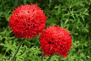 Red pompom opium poppies (Papaver somniferum) brightly coloured flowers of this annual poppy in garden, Berkshire, England, UK, June.  -  Nigel Cattlin