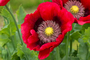 Red opium poppy (Papaver somniferum) in garden, Berkshire, England, UK, June.  -  Nigel Cattlin