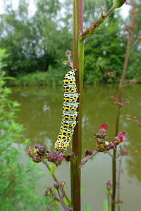 A brightly coloured mullein moth (Cucullia verbascum) feeding on a figwort (Scrophularia nodosa) on a canal bank, Berkshire, England, UK, June  -  Nigel Cattlin