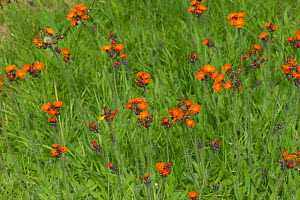 Orange hawkbit (Pilosella, aurantiaca) flowering in a garden lawn, Berkshire, England, UK, July  -  Nigel Cattlin