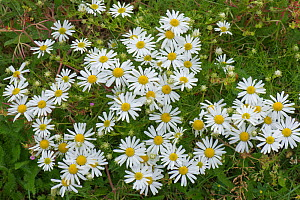 Scentless mayweed (Triplerospermum inodorum) profusely flowering chamomile or mayweed like plant, Berkshire, England, UK, July  -  Nigel Cattlin
