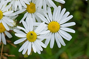 Scentless mayweed (Triplerospermum inodorum) profusely flowering chamomile or mayweed like plant and flower beetle (Meligethes aeneus) , Berkshire, England, UK, July - Nigel Cattlin