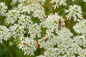 Common red soldier beetle (Rhagonycha fulva) gathering, feeding and mating on a hogweed flower in summer, Berkshire, England, UK, July - Nigel Cattlin