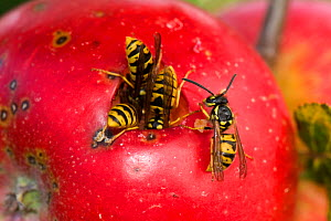 Common wasps (Vespula vulgaris) feeding through a hole in the skin on a ripe red discovery apple on the tree, Berkshire, England, UK, August  -  Nigel Cattlin
