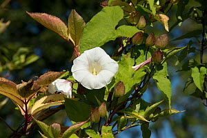 Hedge bindweed (Calystegia sepium) a garden weed, Berkshire, England, UK, September  -  Nigel Cattlin