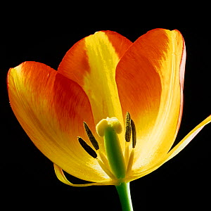 A section of a Tulip (Tulipa) flower showing its structure, red orange sepals, anthers, stamens, style, stigma and ovary  -  Nigel Cattlin