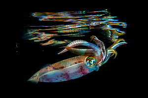 Oval squid (Sepioteuthis lessoniana) photographed at night, Marsa Nakari, Red Sea, Egypt. Minimum fees apply.  -  Magnus Lundgren