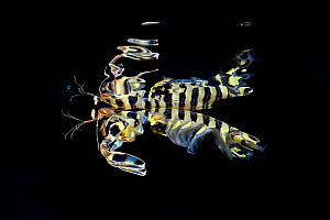 Zebra mantis shrimp (Lysiosquillina maculata) photographed at night, Triton Bay, Papua Barat, Indonesia. Minimum fees apply.  -  Magnus Lundgren