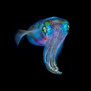 Oval squid (Sepioteuthis lessoniana) photographed at night, Green Island, Taiwan. Minimum fees apply.  -  Magnus Lundgren