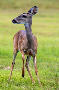 White-tailed deer (Odocoileus virginianus) doe, portrait. Lower RIo Grande Valley, Linn, Hidalgo County, Texas, USA. July.  -  Wendy Shattil