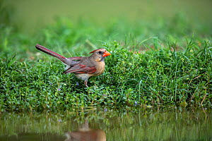 Northern cardinal (Cardinalis cardinalis) female at edge of pond, reflected in water. Lower RIo Grande Valley, Linn, Hidalgo County, Texas, USA. July.  -  Wendy Shattil