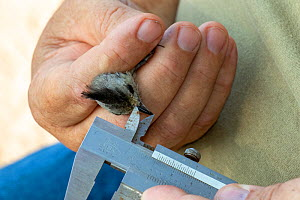 Black-crested titmouse (Baeolophus atricristatus) in the hand, biologist from Texas Parks and Wildlife measuring beak length during bird ringing session. Southmost Preserve, The Nature Conservancy res...  -  Wendy Shattil
