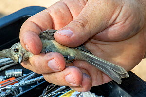 Black-crested titmouse (Baeolophus atricristatus) in the hand following capture in mist net and bird ringing. Southmost Preserve, The Nature Conservancy reserve, Brownsville, Texas, USA. July 2019.  -  Wendy Shattil