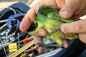 Green jay (Cyanocorax luxuosus) in the hand, biologist from Texas Parks and Wildlife measuring wing during bird ringing session. Southmost Preserve, The Nature Conservancy reserve, Brownsville, Texas,...  -  Wendy Shattil