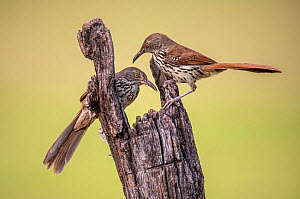 Long-billed thrasher (Toxostoma longirostre) pair perched on wooden post. Lower Rio Grande Valley, Linn, Hidalgo County, Texas, USA. July.  -  Wendy Shattil