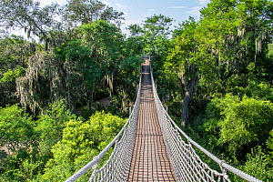 Rope bridge through tree tops draped with Spanish moss (Tillandsia usneoides). Santa Ana National Wildlife Refuge, near Alamo, Hidalgo County, Texas, USA. July 2019.  -  Wendy Shattil