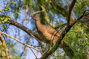 Plain chachalaca (Ortalis vetula) perched in tree. Santa Ana National Wildlife Refuge, near Alamo, Hidalgo County, Texas, USA. July.  -  Wendy Shattil