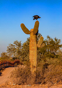 Black vulture (Coragyps atratus) perched on Saguaro cactus (Carnegiea gigantea) beside border wall between Mexico and USA. Organ Pipe Cactus National Monument, Arizona, USA. December. - Wendy Shattil