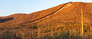Border wall between United States and Mexico through Sonoran Desert with Saguaro (Carnegiea gigantea) cacti, in morning light. Organ Pipe Cactus National Monument, Arizona, USA. May 2019.  -  Wendy Shattil