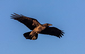 Chihuahuan raven (Corvus cryptoleucus) in flight over USA border from Mexico. Organ Pipe Cactus National Monument, Arizona, USA. November.  -  Wendy Shattil