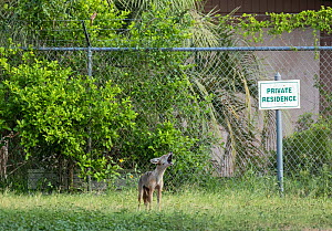 Coyote (Canis latran) howling within no-man's land, Southmost Preserve, The Nature Conservancy Reserve. The border wall separates 85% of the reserve from the United State's side of the barrier...  -  Wendy Shattil